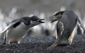 Konfikt (pingviner)